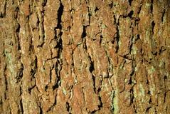 Lönnträdskäll med många djupa sprickor Arkivfoto