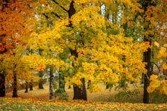 Lönntree i park i höst Fotografering för Bildbyråer