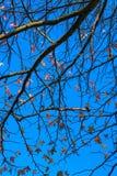 Lönntree med den blåa skyen i höst Royaltyfri Foto
