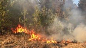 Löpeld skogsbrand, fältbrand, stock video