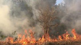 Löpeld skogsbrand, fältbrand, arkivfilmer