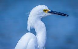 Lös ägretthäger på Atlanticet Ocean, Florida, USA Arkivfoto