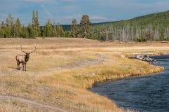 Lös älg i Yellowstone NP Arkivbilder