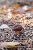 Lös ätlig fjärdbolete som är bekant som imleriabadia, eller soppbadiuschampinjonen som växer i, sörjer trädskogen royaltyfria bilder