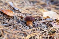 Lös ätlig fjärdbolete som är bekant som imleriabadia, eller soppbadiuschampinjonen som växer i, sörjer trädskogen royaltyfri foto
