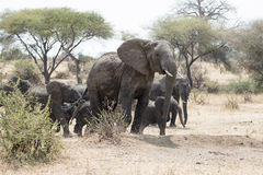 Lös afrikansk elefant med dess barn Royaltyfria Bilder