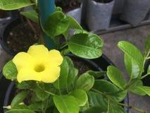Lös allamanda på grönt blomma för bakgrundsBush trumpet (Allamandaneriifoliaen) Royaltyfria Bilder