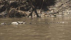 Lös amerikansk krokodil som hotar glidljud in i den leriga floden som förföljer dess rov stock video