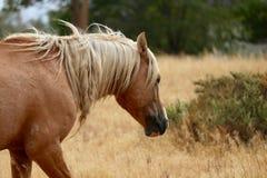 Lös amerikansk mustanghäst som strövar omkring i den Sierra Nevada öknen Royaltyfria Bilder