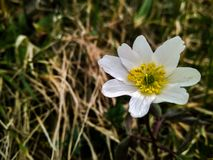 Lös anemonblomma för härlig vit vår i skogslutet upp arkivfoto