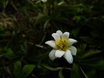 Lös anemonblomma för härlig vit vår i skogslutet upp royaltyfria foton