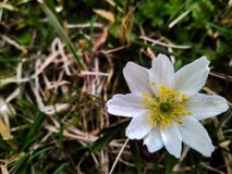 Lös anemonblomma för härlig vit vår i skogslutet upp arkivbilder
