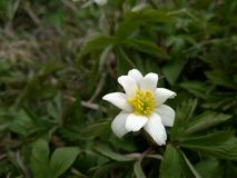 Lös anemonblomma för härlig vit vår i skogslutet upp arkivfoton
