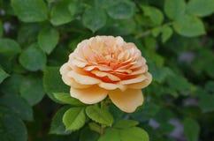 Lös apelsin Rose Flower i trädgård Arkivbilder