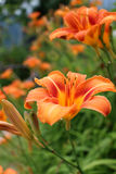 Lös apelsin Tiger Lily Flowers (Liliumbulbiferumen) Arkivbild