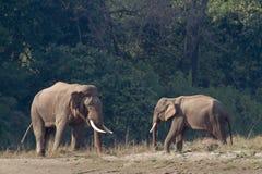 Lös asiatisk elefant i Bardia, Nepal Arkivfoto