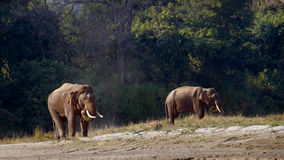 Lös asiatisk elefant i Bardia, Nepal Fotografering för Bildbyråer