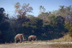 Lös asiatisk elefant i Bardia, Nepal Royaltyfria Bilder