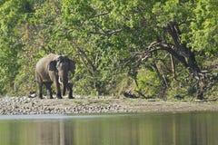 Lös asiatisk elefant i Bardia, Nepal Royaltyfri Fotografi