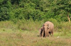 Lös asiatisk elefant i skogen Royaltyfri Foto