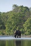 Lös asiatisk elefant som korsar floden i Bardia, Nepal Royaltyfria Foton
