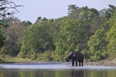 Lös asiatisk elefant som korsar floden på den Bardia nationalparken, Nepal Royaltyfri Fotografi