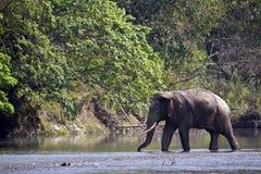 Lös asiatisk elefant som korsar floden på den Bardia nationalparken, Nepal Arkivbilder