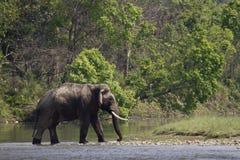 Lös asiatisk elefant som korsar floden på den Bardia nationalparken, Nepal Fotografering för Bildbyråer