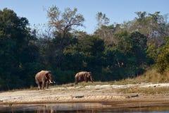 Lös asiatisk elefant två i Bardia, Nepal Arkivbild