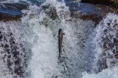 Lös atlantisk lax Fotografering för Bildbyråer