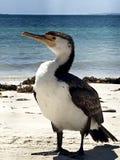 Lös australisk kormoran på strandcloseupen Royaltyfri Fotografi