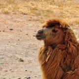 Lös bactrian kamel Royaltyfri Bild