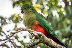 Lös barnslig konung Parrot, drottning Mary Falls, Queensland, Australien, mars 2018 arkivfoto