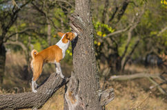Lös Basenji hund som sniffar runt om dess territorium Royaltyfri Fotografi