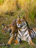 Lös Bengal för moder och för gröngöling tiger i gräset india 17 2010 för india för elefant för bandhavgarhbandhavgarthområde umar Arkivbilder