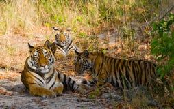 Lös Bengal för moder och för gröngöling tiger i gräset india 17 2010 för india för elefant för bandhavgarhbandhavgarthområde umar Royaltyfri Bild