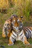 Lös Bengal för moder och för gröngöling tiger i gräset india 17 2010 för india för elefant för bandhavgarhbandhavgarthområde umar Royaltyfria Foton