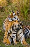 Lös Bengal för moder och för gröngöling tiger i gräset india 17 2010 för india för elefant för bandhavgarhbandhavgarthområde umar Fotografering för Bildbyråer