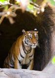 Lös Bengal tiger i grottan india 17 2010 för india för elefant för bandhavgarhbandhavgarthområde umaria för ritt för pradesh för  Royaltyfri Bild