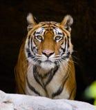 Lös Bengal tiger i grottan india 17 2010 för india för elefant för bandhavgarhbandhavgarthområde umaria för ritt för pradesh för  Arkivfoto