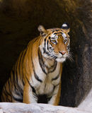 Lös Bengal tiger i grottan india 17 2010 för india för elefant för bandhavgarhbandhavgarthområde umaria för ritt för pradesh för  Arkivfoton