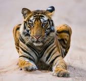 Lös Bengal tiger som ligger på vägen i djungeln india 17 2010 för india för elefant för bandhavgarhbandhavgarthområde umaria för  Arkivbilder
