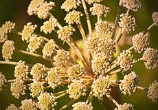 Lös bergväxtbörjan som blomstrar Royaltyfria Foton