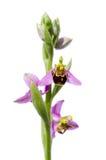 Lös biorkidé - Ophrysapifera Arkivfoto