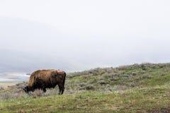 Lös bisonbuffel som betar - den Yellowstone nationalparken - mountai Royaltyfri Bild