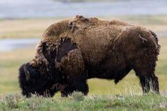 Lös bisonbuffel som betar - den Yellowstone nationalparken - mountai Arkivbild