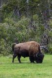 Lös bisonbuffel som betar - den Yellowstone nationalparken - mountai Royaltyfri Foto