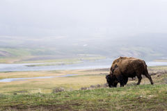 Lös bisonbuffel som betar - den Yellowstone nationalparken - mountai Royaltyfri Fotografi