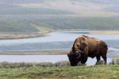 Lös bisonbuffel som betar - den Yellowstone nationalparken - mountai Arkivbilder