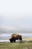 Lös bisonbuffel som betar - den Yellowstone nationalparken - mountai Arkivfoton